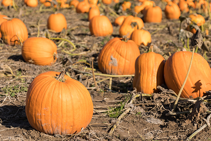 The 10 Best Pumpkin Picking Spots in New Hampshire!