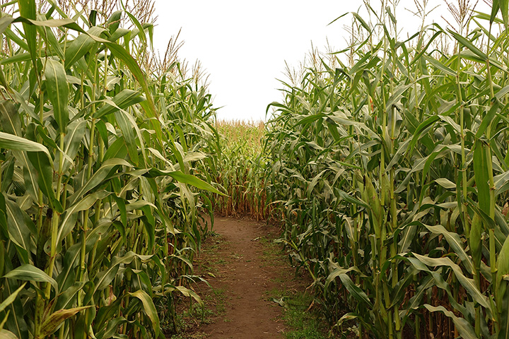 The 9 Best Corn Mazes in New Mexico!