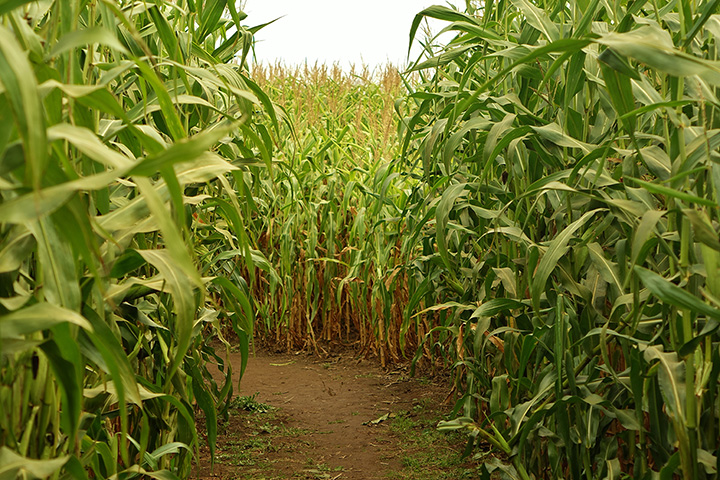 The 10 Best Corn Mazes in Texas!