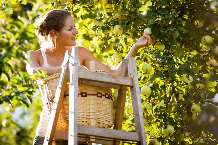 The 7 Best Apple Orchards in West Virginia!